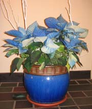 Blue poisettias offset with a blue planter