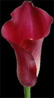 Deep chrisom calla lilies for your bridal bouquet